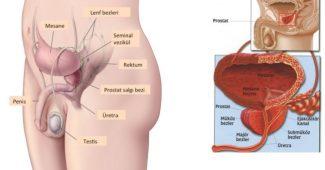 prostat büyümesi, prostat neden büyür