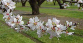 badem bitkisinin önemi, badem bitkisi nedir, badem bitkisinin sağlığa faydası